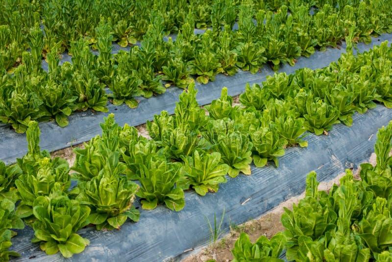 Cos Lettuce ou alface romana fotografia de stock royalty free