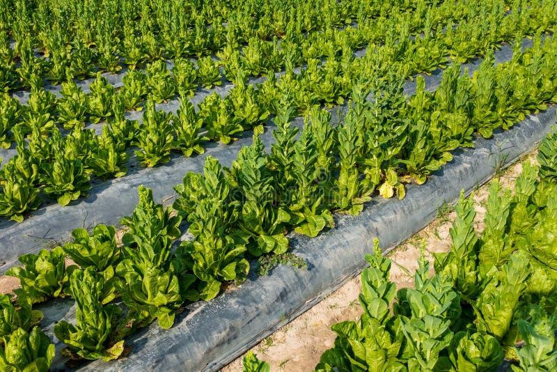 Cos Lettuce ou Romaine Lettuce imagem de stock royalty free