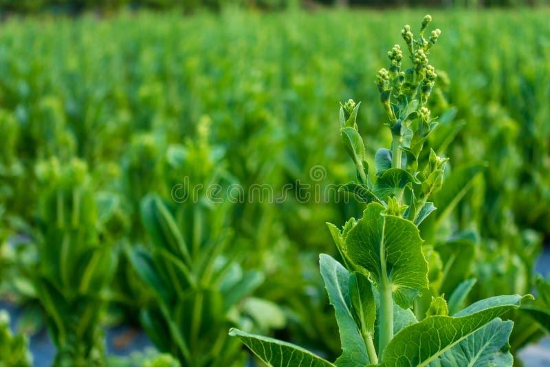 Cos Lettuce ou Romaine Lettuce foto de stock royalty free