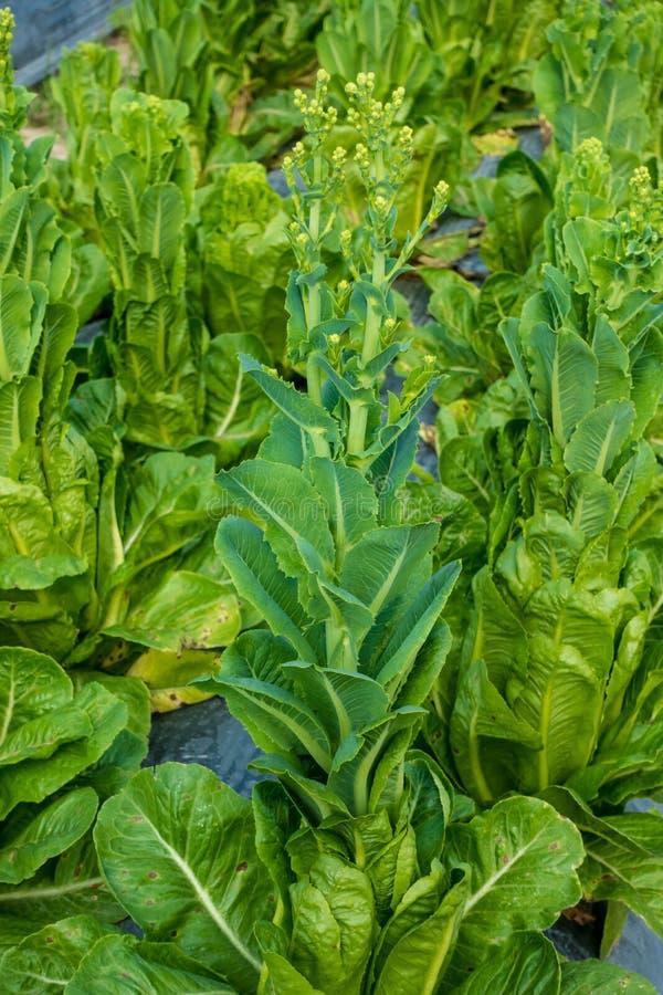 Cos Lettuce ou Romaine Lettuce fotos de stock