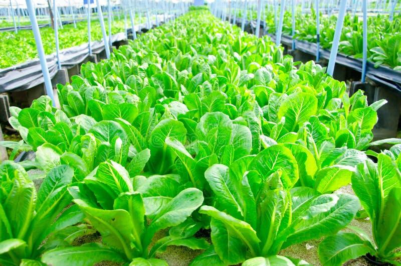 Cos Lettuce Romaine Lettuce arkivfoton
