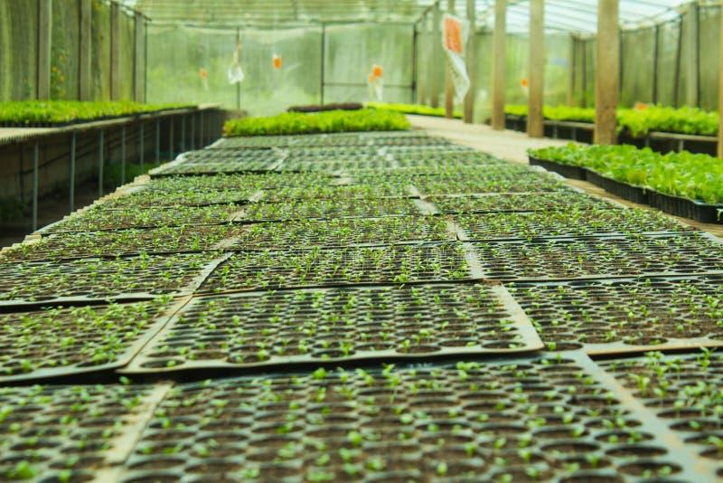 Cos Romaine Lettuce photo libre de droits