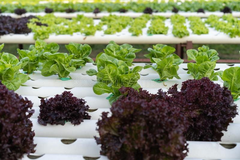 Cos Romaine Lettuce hidropônico imagem de stock royalty free