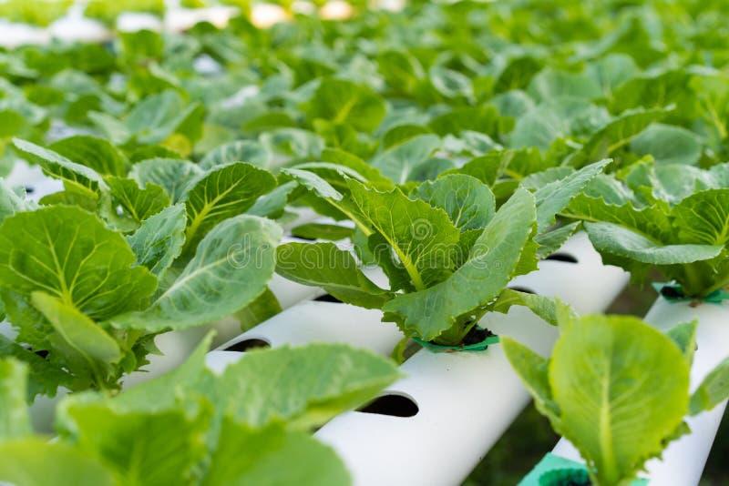 Cos Romaine Lettuce hidropônico imagens de stock royalty free
