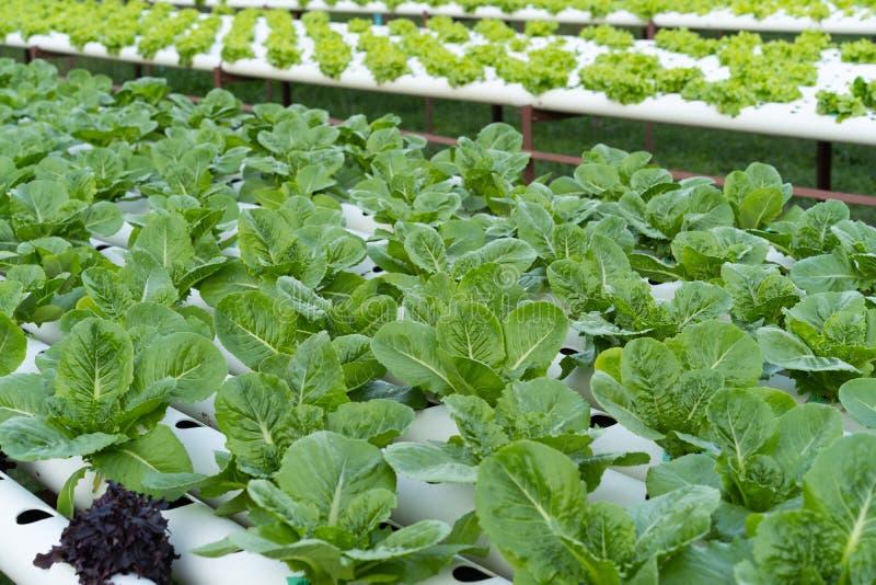 Cos Romaine Lettuce hidropônico imagem de stock