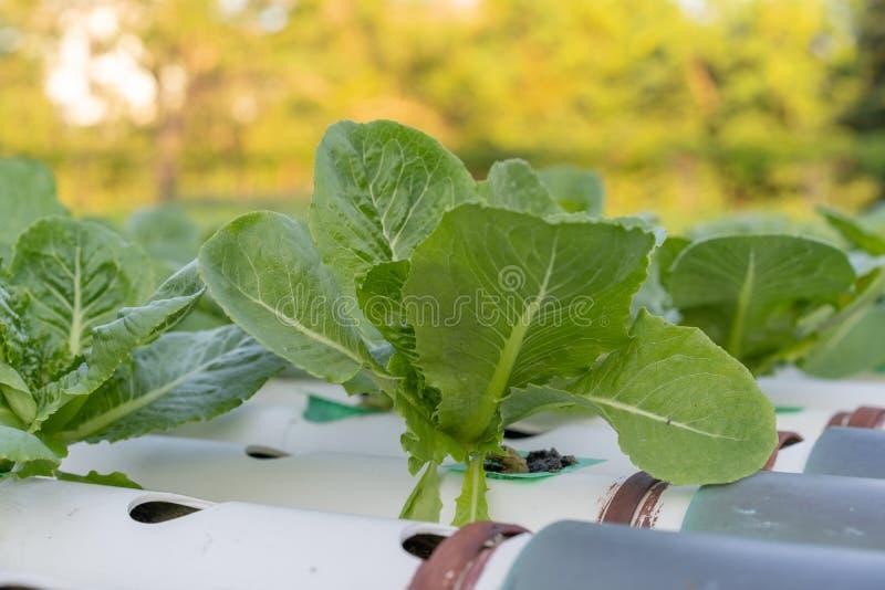 Cos Romaine Lettuce hidropônico fotos de stock