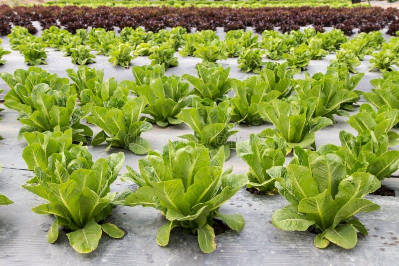 Cos verde na plantação da alface imagens de stock