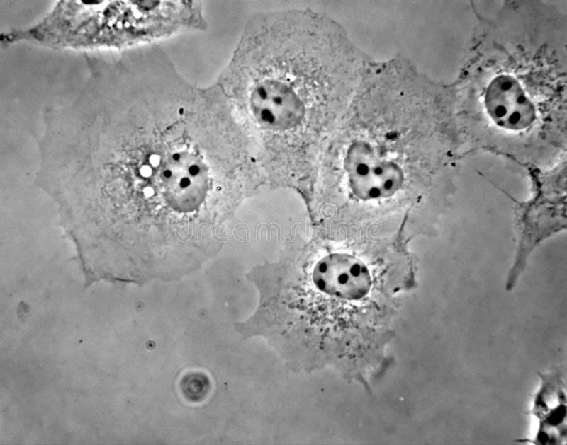 COS1 cellen in cultuur stock afbeelding