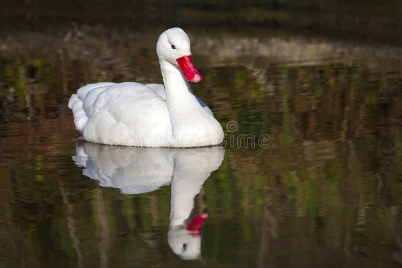 Coscoroba Swan royaltyfri bild