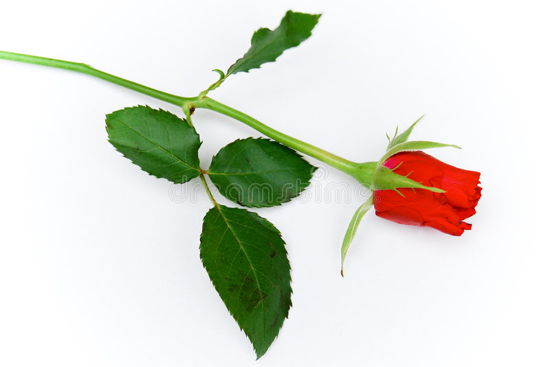 Download Cose up total single rose stock image. Image of beautiful - 3970191