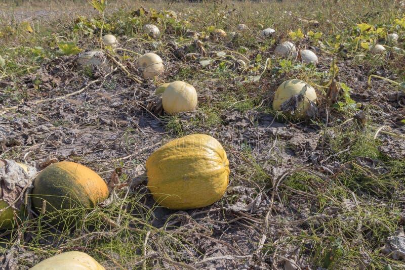 Cosecha de calabazas en la parcela en otoño feriado Día de Acción de Gracias imagen de archivo