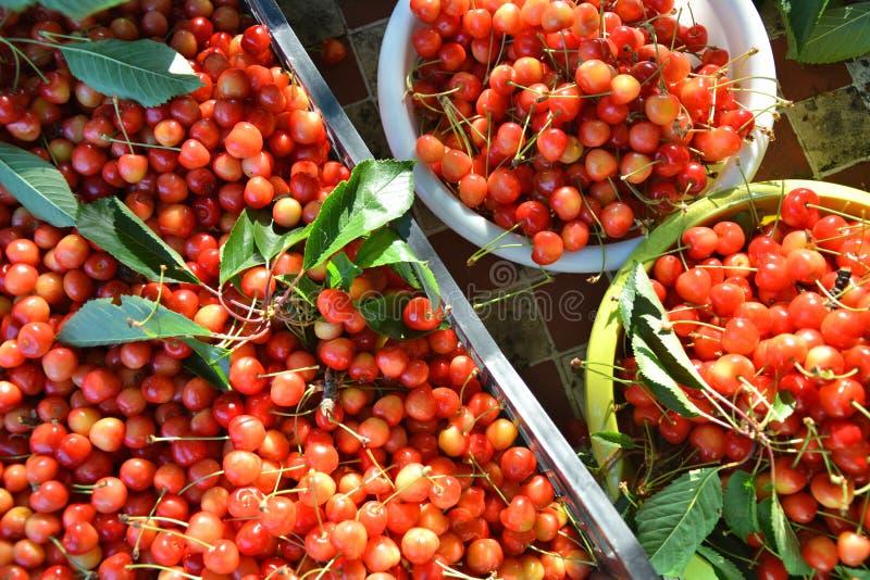 Cosecha de cerezas dulces foto de archivo