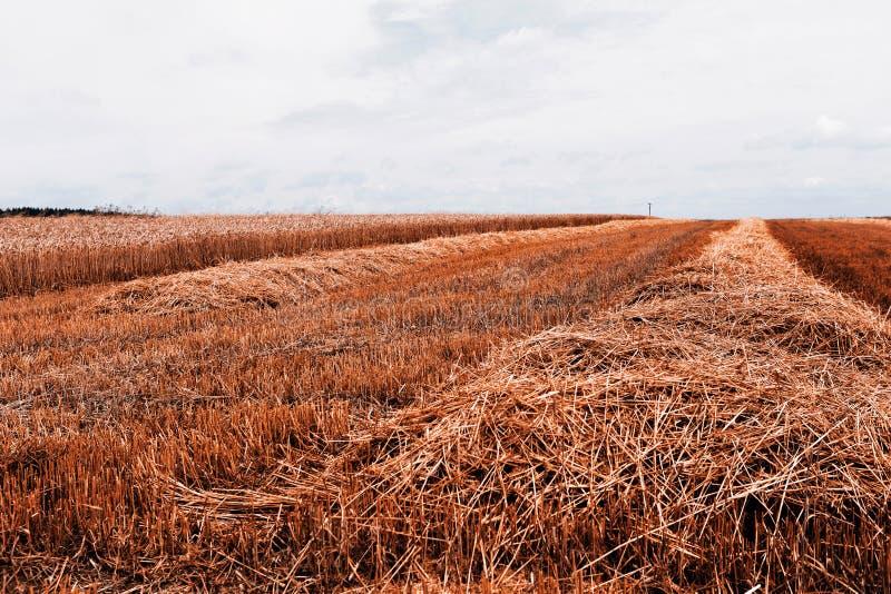 Download Cosecha de grano imagen de archivo. Imagen de nube, paisaje - 42446343