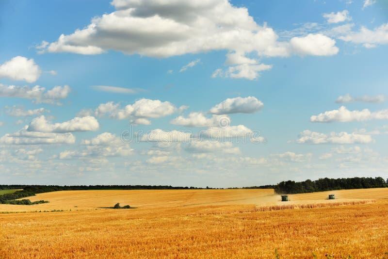 Cosecha de la cosechadora en el campo del trigo de oro Campo de oro con los oídos de las cosechas de grano imagenes de archivo