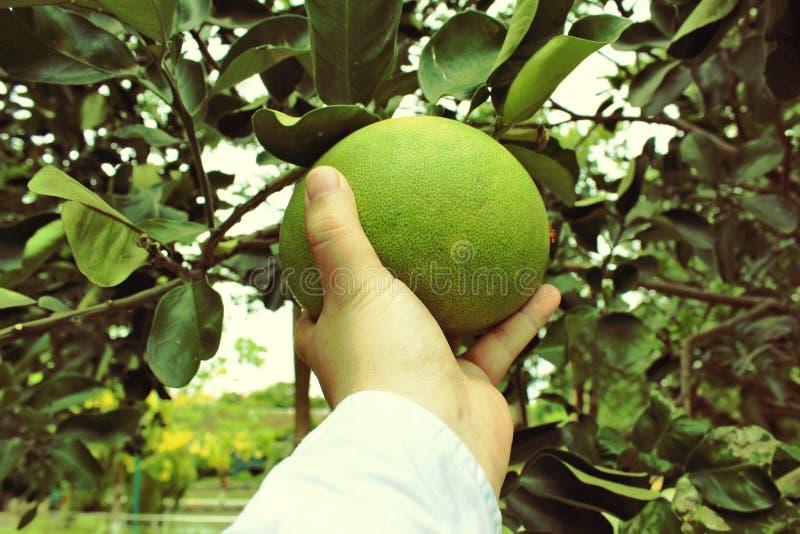 Cosecha de la fruta cítrica La mano sostiene el pomelo imagenes de archivo