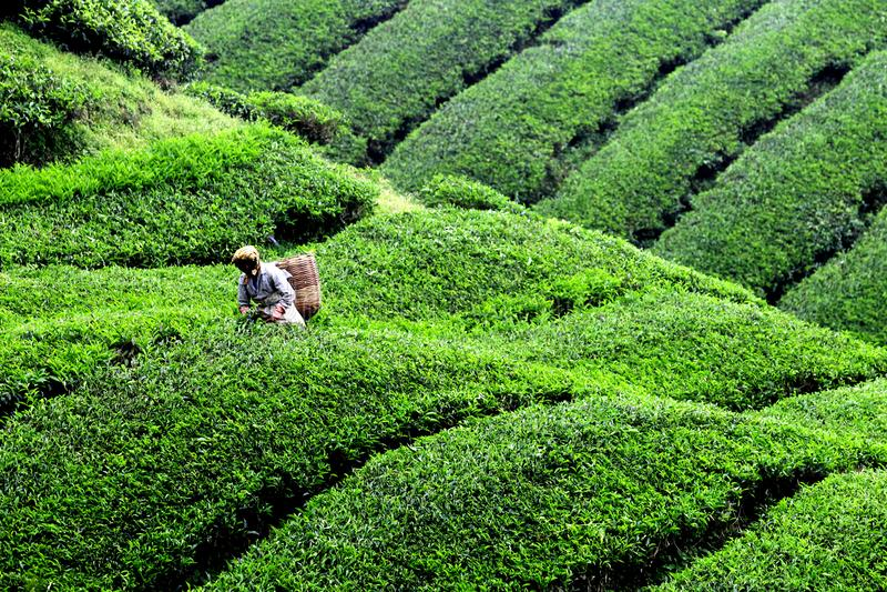 Cosecha de la plantación de té en Cameron Highland foto de archivo