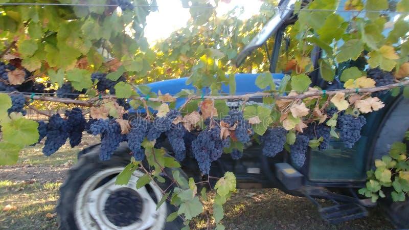 Cosecha de la uva de vino de Napa Valley Gamay imágenes de archivo libres de regalías