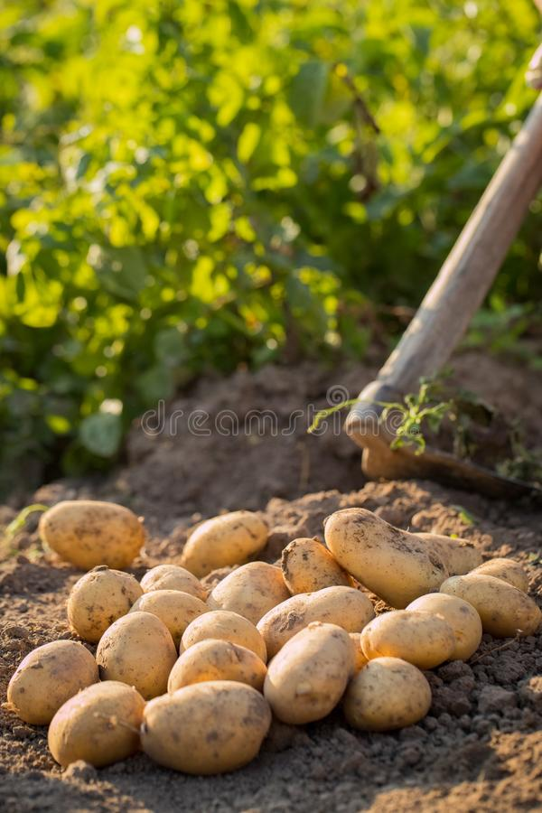 Cosecha de las patatas jovenes en el campo de tierra en Sunny Day foto de archivo libre de regalías