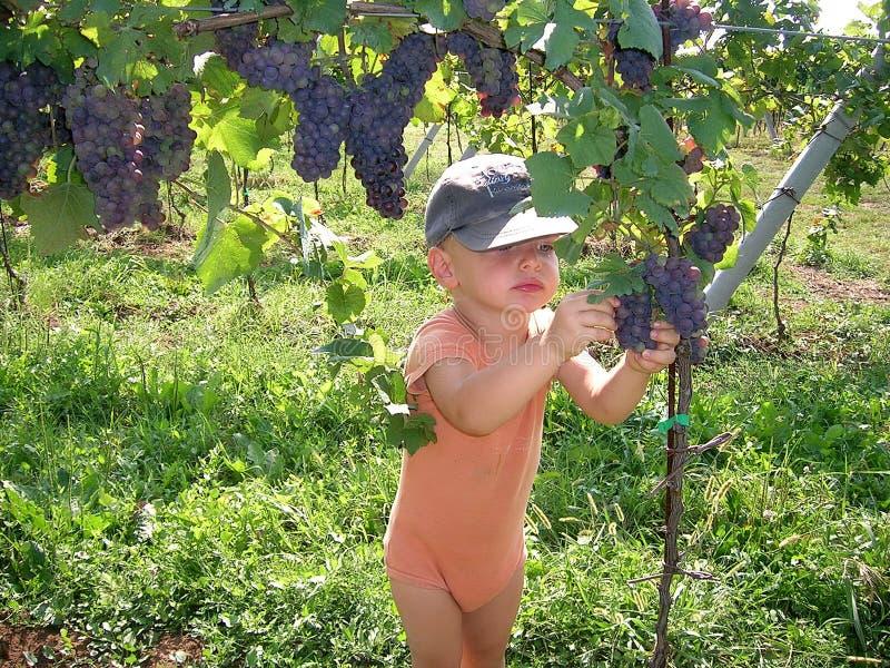 Cosecha de las uvas imagen de archivo