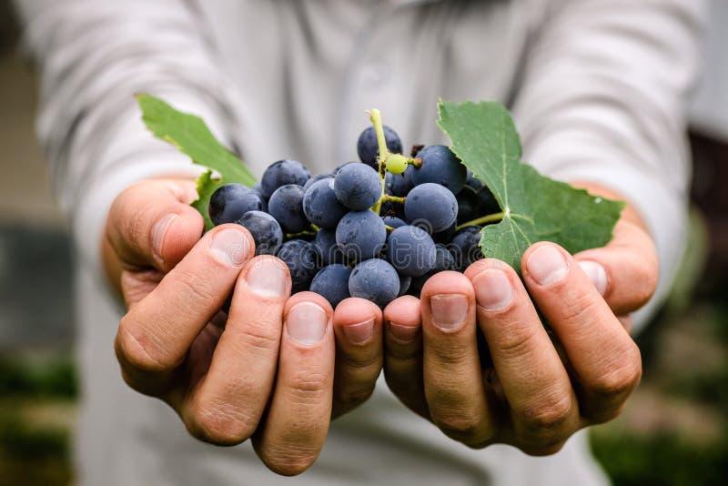 Cosecha de las uvas en otoño fotos de archivo