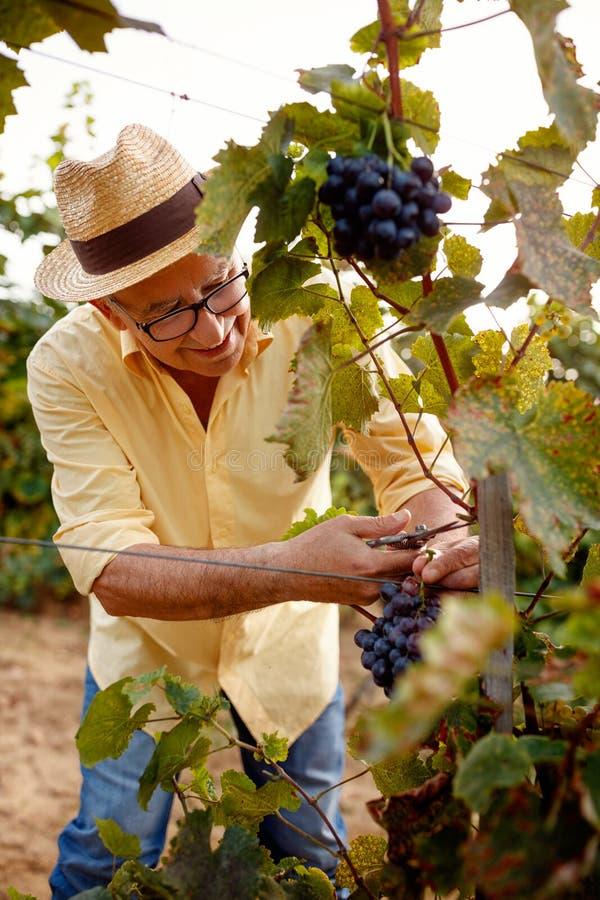 Cosecha de las uvas de vino en la vid de uva imagen de archivo