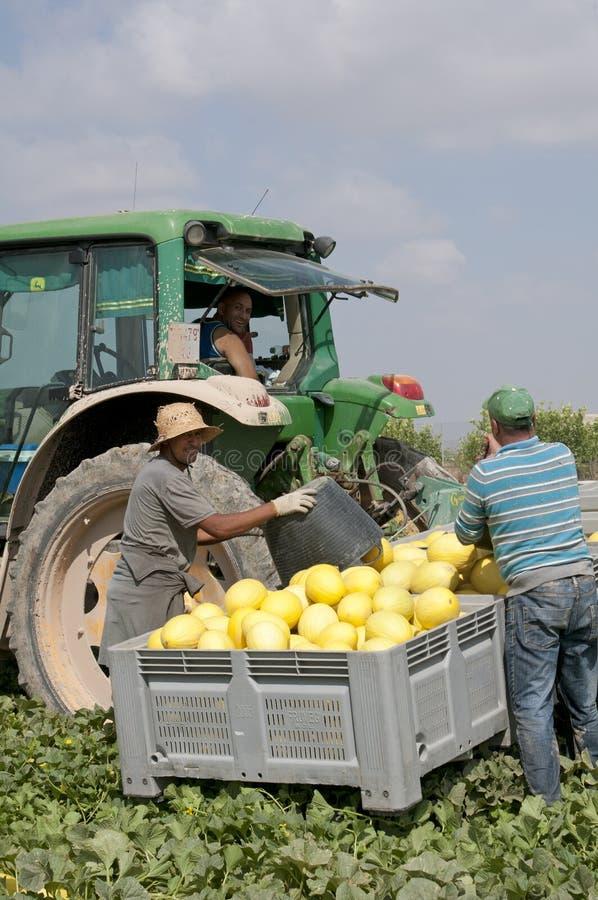 Cosecha de los melones en una granja española imágenes de archivo libres de regalías