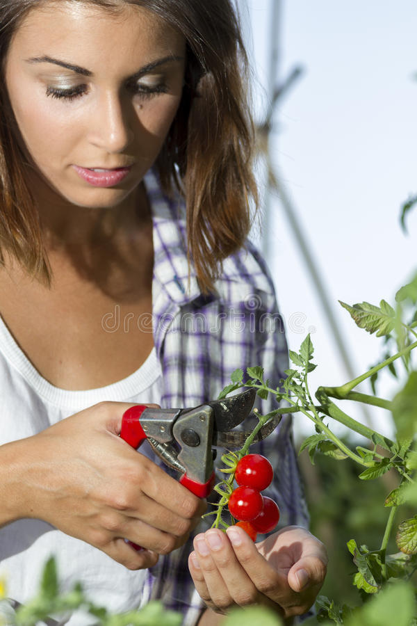 Cosecha de los tomates de una cereza imágenes de archivo libres de regalías