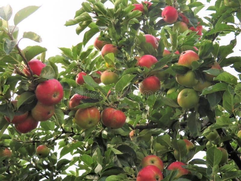 Cosecha de parachoques de manzanas en un jardín del sur de Dublín imagen de archivo libre de regalías