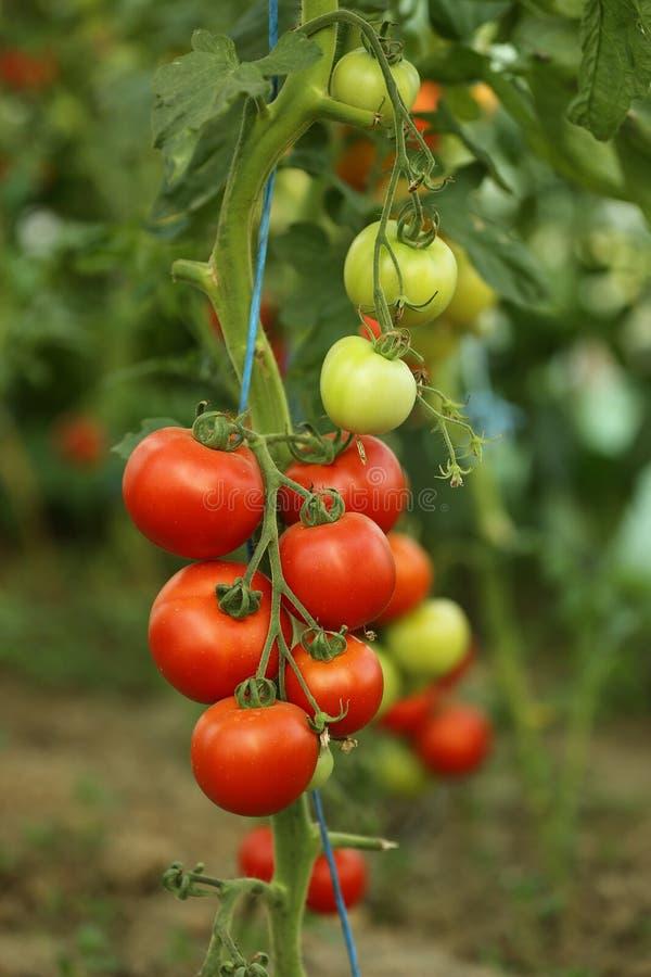 Cosecha de tomate imagen de archivo libre de regalías
