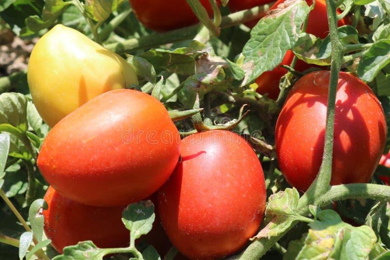 Cosecha de tomate El crecimiento de las plantas de tomate imágenes de archivo libres de regalías