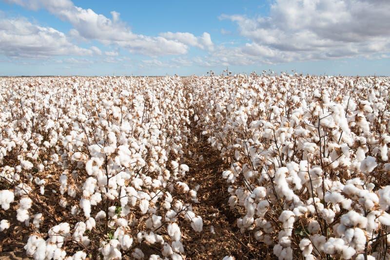 Cosecha del algodón lista para la cosecha foto de archivo libre de regalías