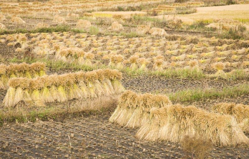 cosecha del arroz de arroz foto de archivo