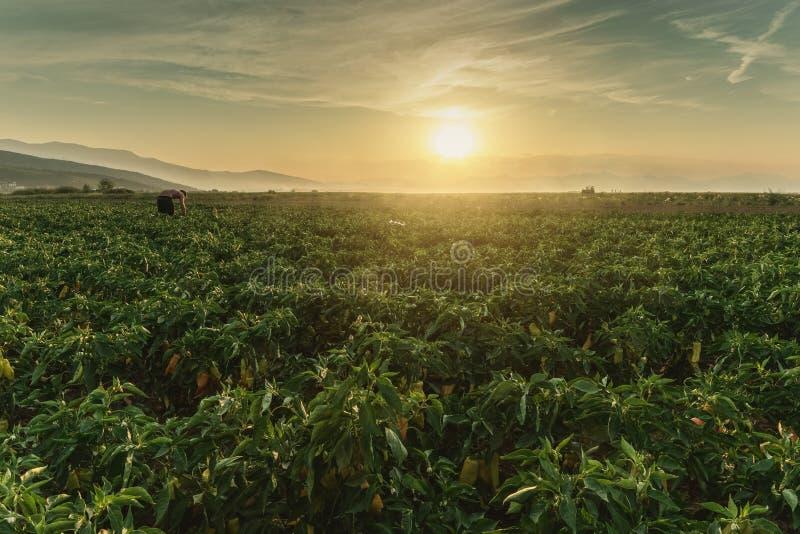 Cosecha del ayudante que coge el paprika maduro en la plantaci?n en la luz del sol de la tarde imagen de archivo libre de regalías