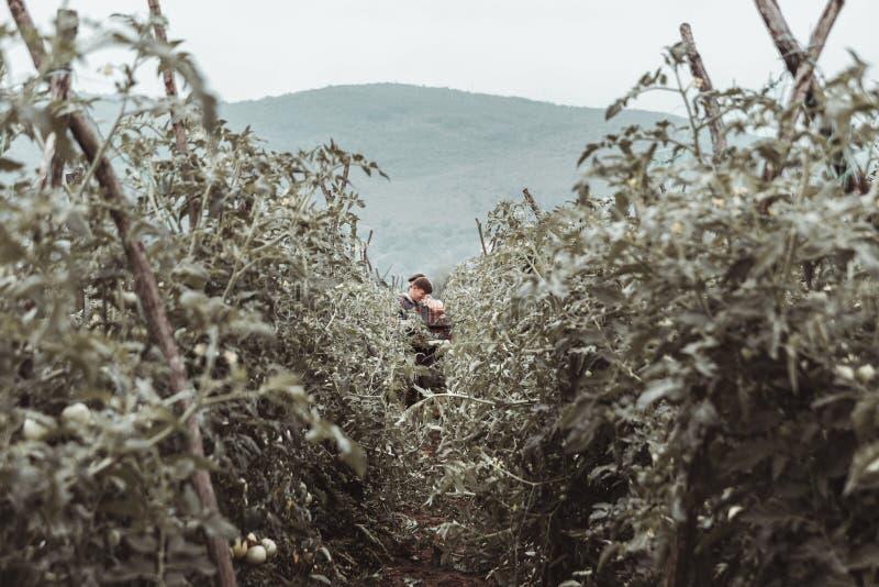 Cosecha del ayudante que coge los tomates frescos en el campo verde imagen de archivo libre de regalías
