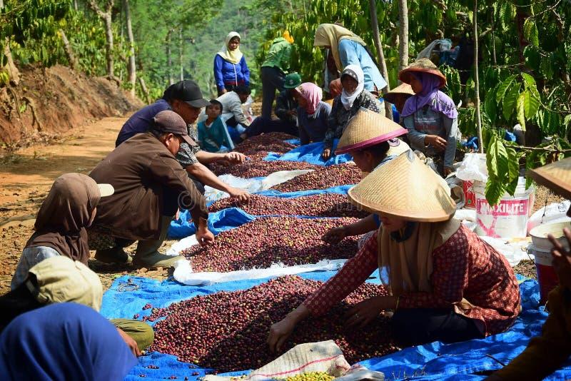 Cosecha del CAFÉ EN INDONESIA fotografía de archivo