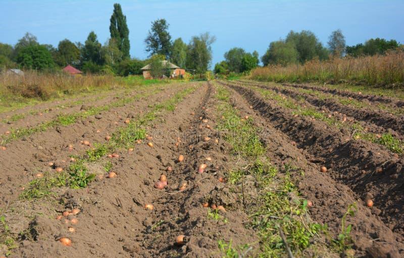Cosecha del campo de las patatas Cosecha orgánica de las patatas de la granja foto de archivo libre de regalías