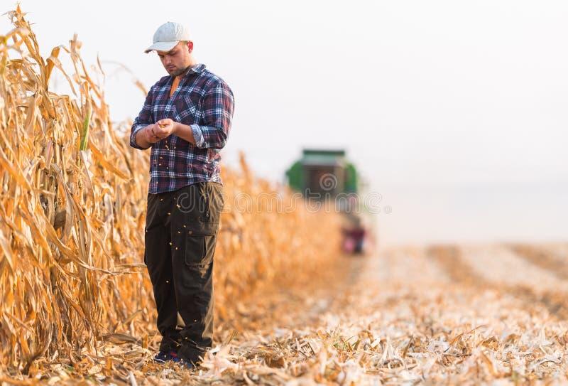 Cosecha del campo de maíz con la cosechadora foto de archivo