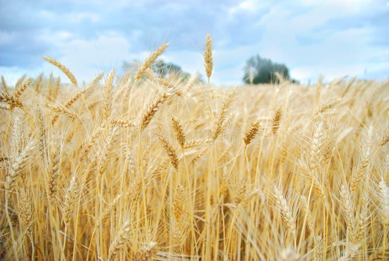 Cosecha del campo de trigo imagenes de archivo