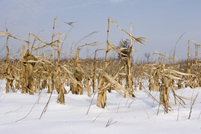 Cosecha del laberinto y del maíz en invierno del campo fotos de archivo