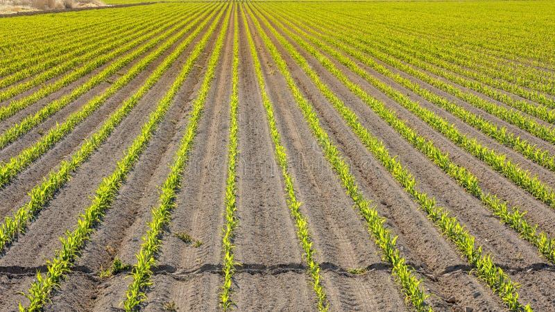Cosecha del maíz apenas plantada en filas en la granja de Idaho imágenes de archivo libres de regalías