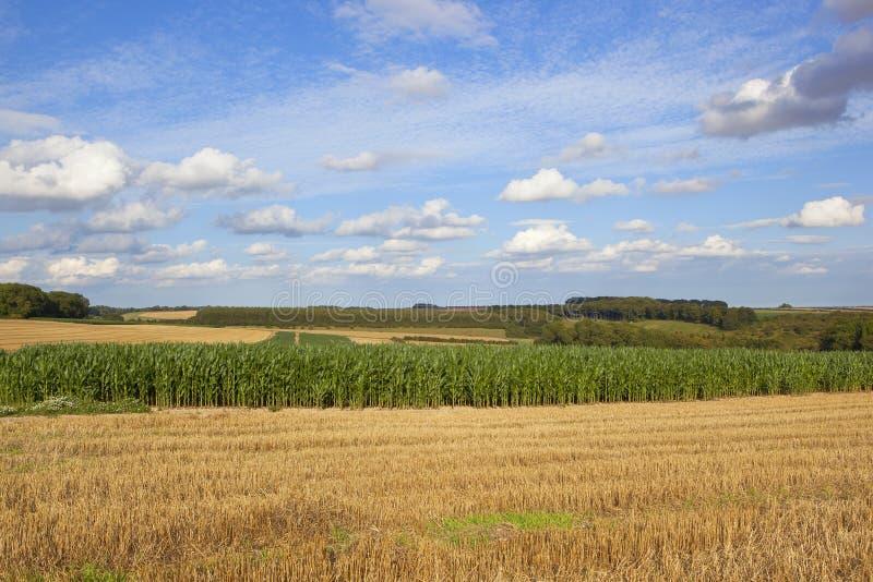 Cosecha del maíz en el tiempo de cosecha fotografía de archivo libre de regalías