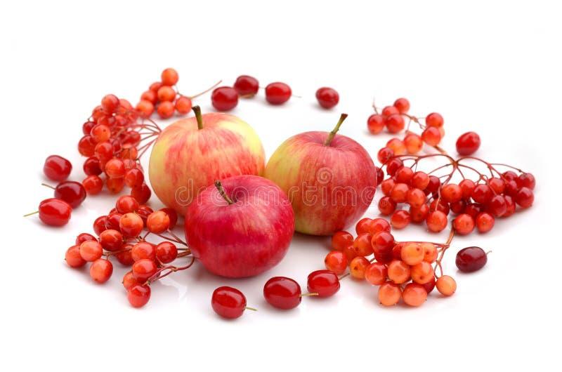 Cosecha del oto?o Composición de las frutas, bayas en un fondo blanco Manzanas, viburnum, cornejo imagenes de archivo