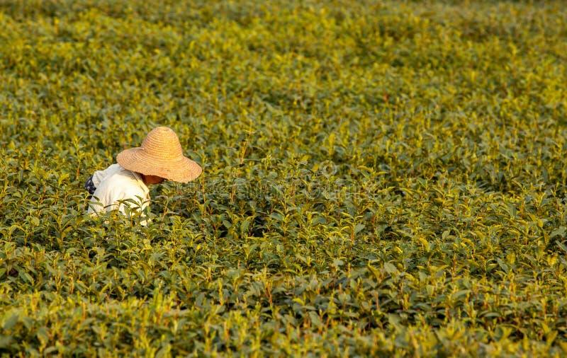Cosecha del té de Longjing imagen de archivo libre de regalías