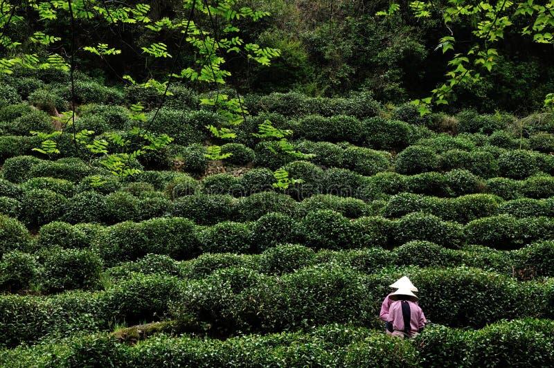 Cosecha del té, Hangzhou, China imagen de archivo libre de regalías