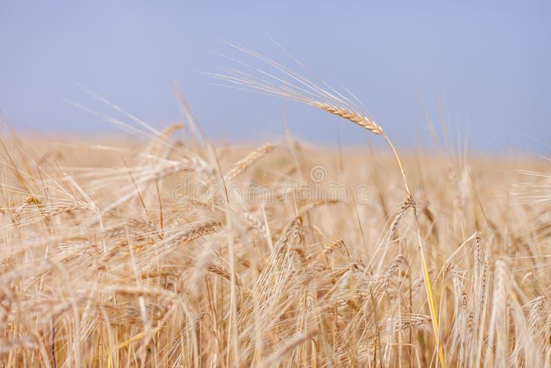 Cosecha del trigo imagen de archivo