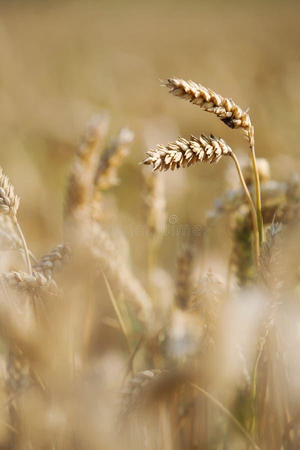 Cosecha del trigo en el campo fotografía de archivo