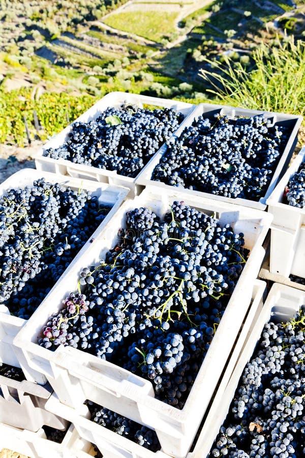 Cosecha del vino foto de archivo