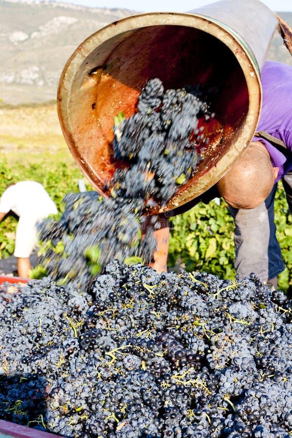 Cosecha del vino, Francia fotos de archivo libres de regalías