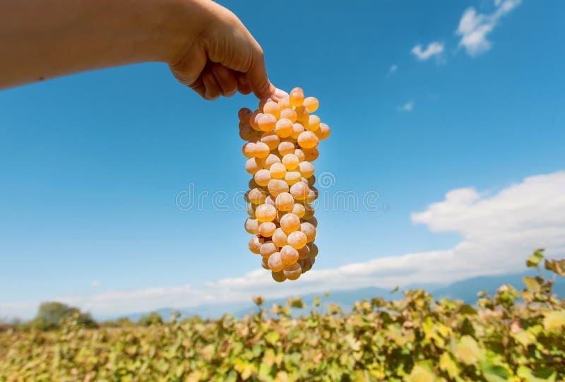 Cosecha en el valle de uvas Manojo de uvas jugosas en la mano del ` s del granjero y el cielo azul en fondo fotografía de archivo libre de regalías