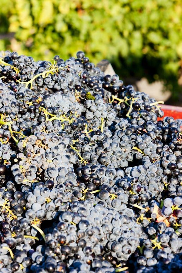 cosecha en la denominación de Fitou, Languedoc-Rosellón, Francia del vino imagen de archivo libre de regalías
